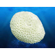 Deep Blue Coral Concepts Brain Coral SM