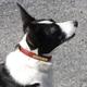 Personalized Corgi Dog Collar Havana/Chestnut