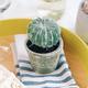 Cactus oursin avec pot par Gino Signature
