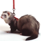 Marshall Ferret Harness And Lead Combo Teal