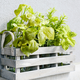 Basil, Rosemary & Mint in Wooden Container