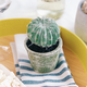 Barrel Cactus in Pot by Gino Signature