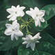 Peacock Jasmine Plants - Set of 2