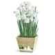 Paperwhites Gift Basket, One Size