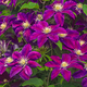 Gypsy Queen Clematis, One Size