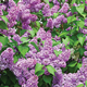 Yankee Doodle Lilac, One Size