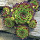 Hens & Chicks, One Size