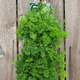 Organic Hanging Parsley Garden Kit 8.5