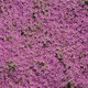 Flower Mat, Ground Cover, Creeping Thyme