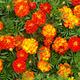 Flower Mat, Merry Marigolds 17
