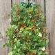 Organic Hanging Cherry Tomato Garden Kit 8.5