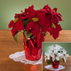 Christmas Poinsettia 15