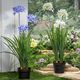 Decorative Assorted Artificial Agapanthus in Pot (Set of 2)