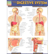 Anatomy of the Digestive System Quick Study