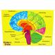 Human Brain (Foam Human Anatomy STEM Mnpltvs)