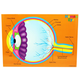 Human Eye (Foam Human Anatomy STEM Mnpltvs)