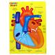 Human Heart (Foam Human Anatomy STEM Manipulatives)