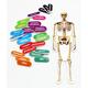 Human Skeleton (Foam STEM Manipulatives)