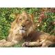 Lion King Puzzle (100 pieces)