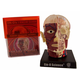 Brain & Skull Human Anatomy Model