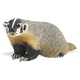 American Badger (Wild Safari North American Wildlife)