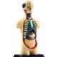 4D Human Body Torso Anatomy Model