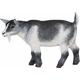 Pygmy Nanny Goat (Safari Farm)