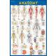 Anatomy Poster - Laminated