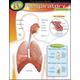 Human Body Respiratory System Learning Chart
