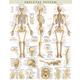 Skeletal System Poster - Laminated