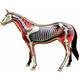 4D Horse Anatomy Model