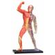 4D Muscle & Skeleton Anatomy Model