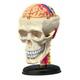 4D Cranial Nerve & Skull Anatomy Model