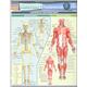 Anatomy Fundamentals Life Science Quick Study