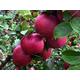 Ramey York Apple