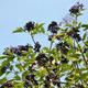 Nova Elderberry
