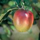 Sheepnose Apple