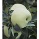 Shizuka Japanese Apple
