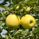 Stark Golden Delicious Apple