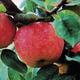 Stark GrandGala Apple