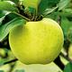 Stark Lodi Apple