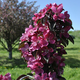 Stark Maypole Flowering Crabapple