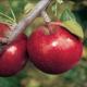 Stark Super Red Fuji Apple
