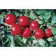 Stark UltraRed Gala Apple