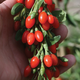 Lifeberry Goji Berry Plant Collection