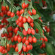 Sweet Lifeberry Goji