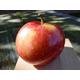 Sweet Sixteen Apple