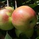 Twenty Ounce Apple
