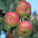 Wagener Apple