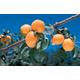 Giant Tilton Apricot